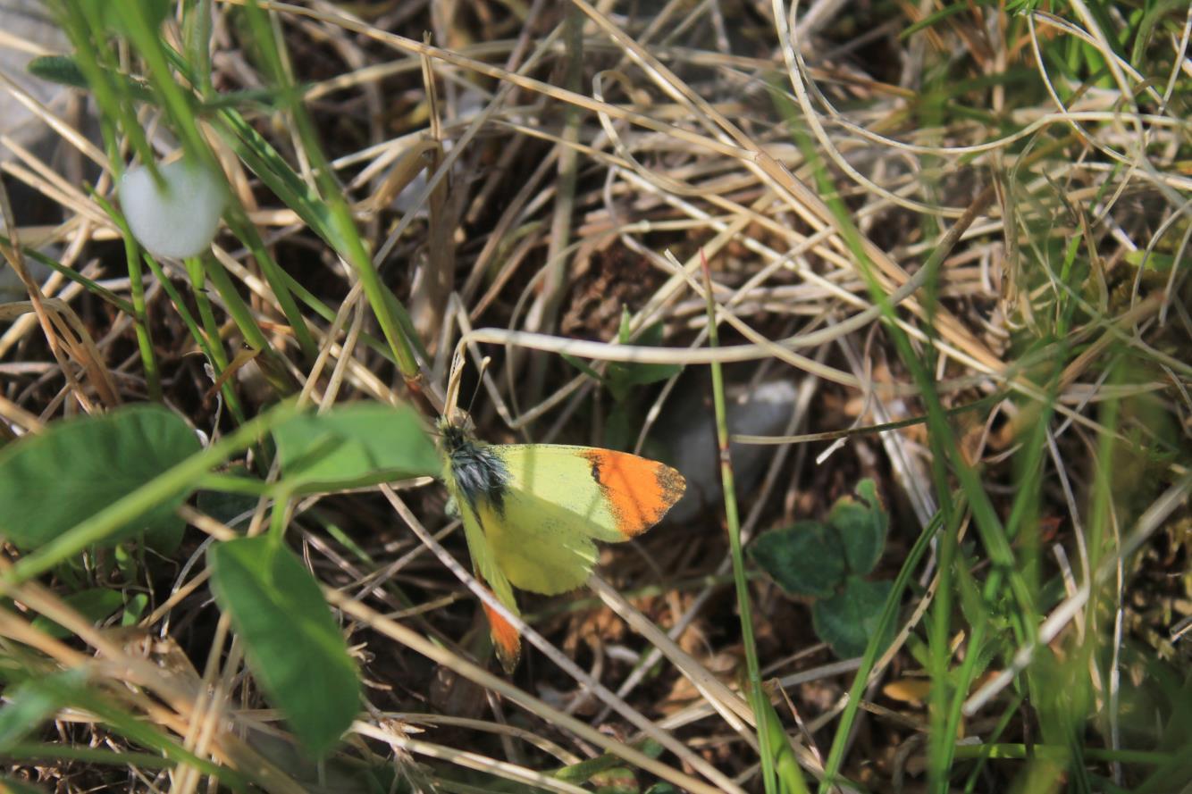 7- Anthocharis belia euphenoides, esemplare maschio di una rara farfalla di montagna in Val di Bove.