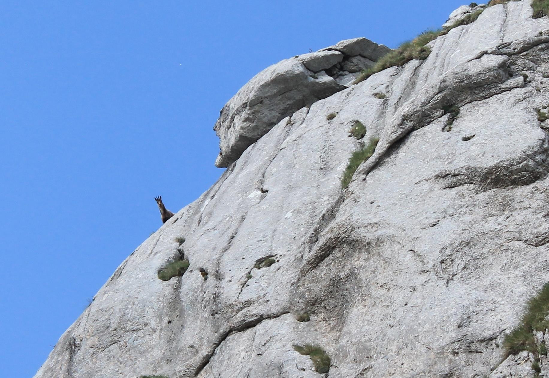 8- Camoscio curioso sulla cresta est del Monte Bicco.