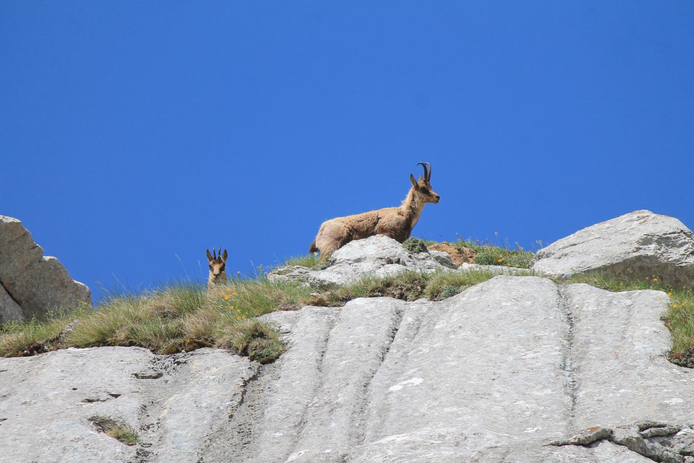 9- Camosci sulla cresta est del Monte Bicco.