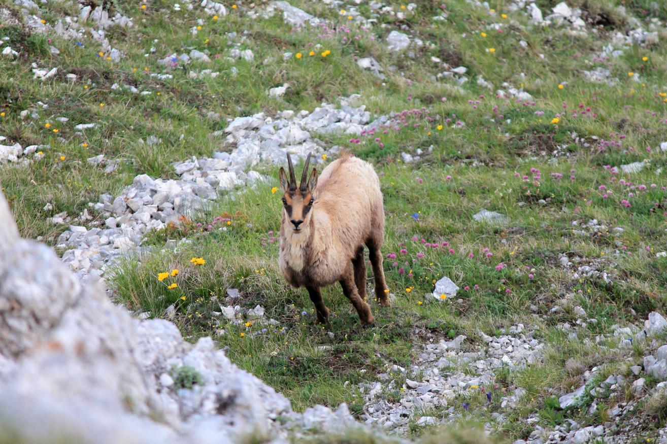 10-Parete nord del Monte Bicco, un camoscio al pascolo 10 metri sotto di noi tra decine di fiori alpini.