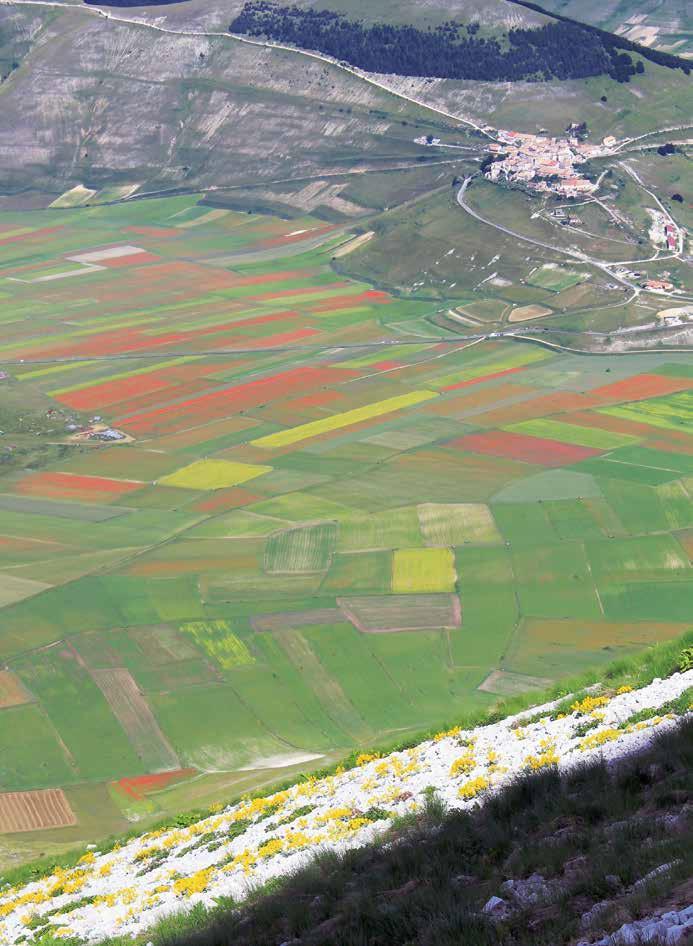 """206 Veduta """"aerea"""" della fioritura di Castelluccio vista dallo Scoglio dell'Aquila. In basso nel ghiaione la fioritura di Isatis Apennina"""