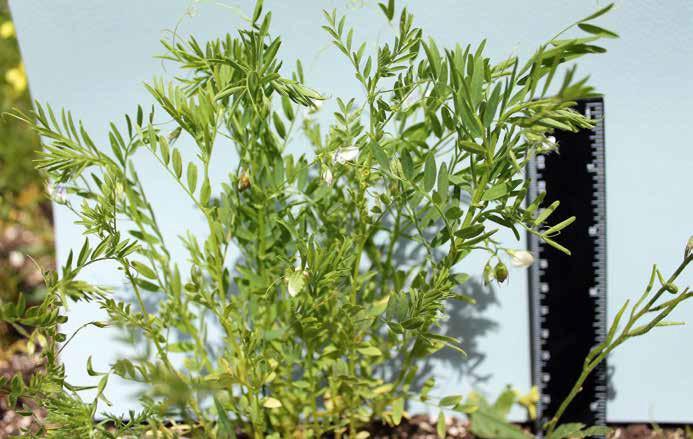 204 La pianta di lenticchia, alta poco più di 20 cm e con i piccoli fiori bianchi