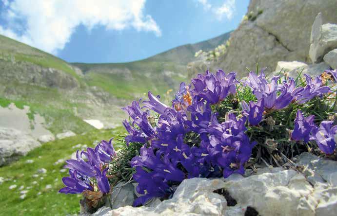 244 Edraianthus graminifolius, presente nell'appennino centrale, meridionale e Sicilia