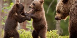 https://occhiodeisibillini.com/news/ammazzare-cuccioli-di-orso-e-lupo-ora-si-puo-grazie-a-trump